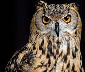 bengal eagle owl stare photograph andrew jk tan