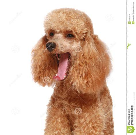 apricot poodle puppy apricot poodle puppy 1year stock photography image 12565872