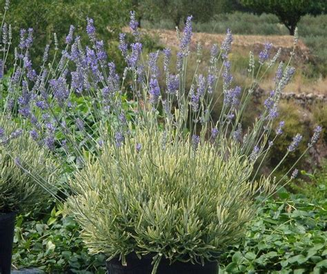 lavender platinum blonde p p lavandula angustifolia hybrid is a striking new lavender