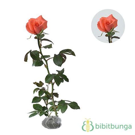 Tanaman Mawar Orange by Tanaman Mawar Jingga Orange Bibitbunga
