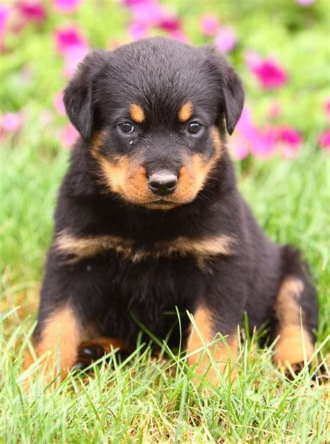 rottweiler puppies for sale canberra rottweiler pup for sale