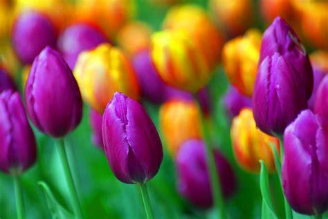 immagini di fiori tulipani tulipani immagini fiori foto di fiori immagini di fiori