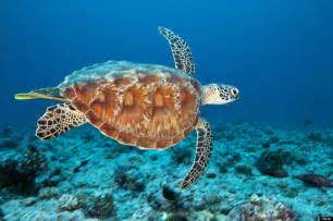 what color is a turtle gc61121 1 green sea turtle unknown cache in florida