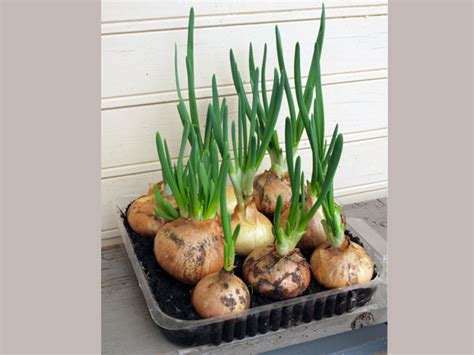 Growing Green how to grow green onions in kitchen boldsky