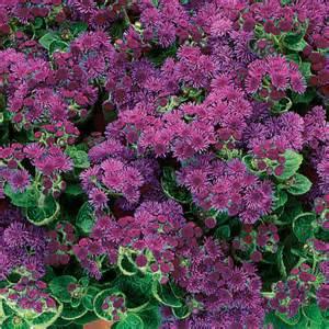 Blue Bush Flowers - artist 174 purple flossflower ageratum hybrid proven