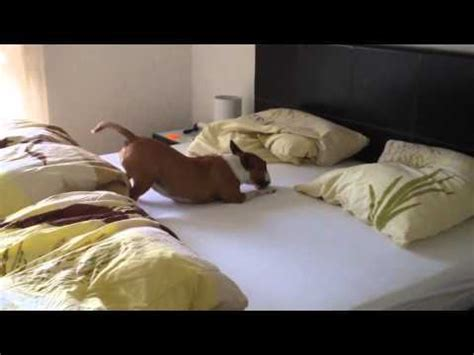 dog jumping on bed dog jumps into bed flips the eff out the hollywood gossip