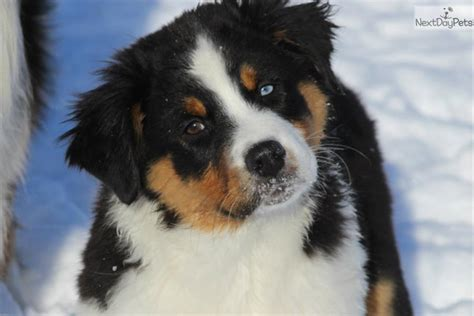 australian shepherd puppies in michigan australian shepherd puppy for sale near battle creek michigan 57b350d6 ed31