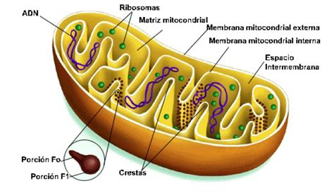 mitochondrion diagram science abc mitochondrial dna