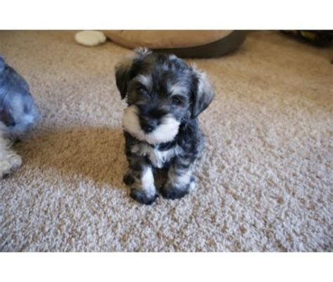 puppies for sale houston tx miniature schnauzer puppies for sale in miniature schnauzer puppy for sale
