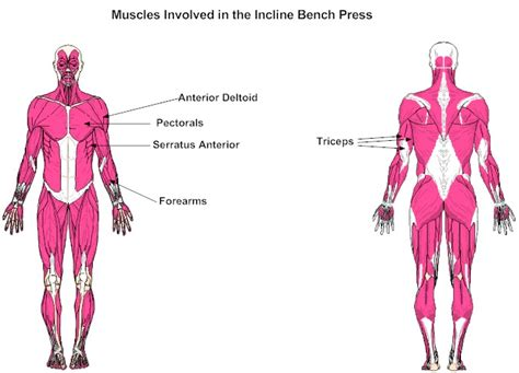 incline bench press muscles worked muscles involved in the incline bench press
