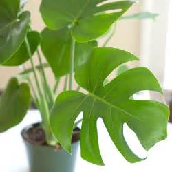 houseplant highlight monstera deliciosa cookie and kate blog