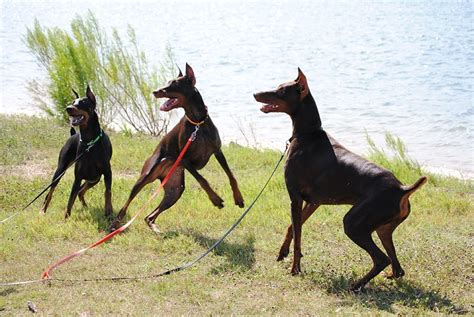 how to doberman how to a doberman pinscher that apply dogs