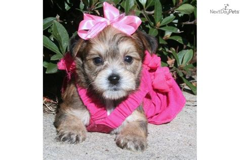 yorkie poo puppies for sale in louisiana yorkiepoo yorkie poo puppy for sale near louisiana 9ebfbe2f 41e1
