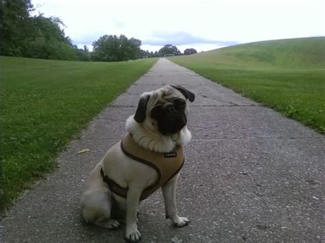 what size puppia harness for pug puppia harness get free image about wiring diagram