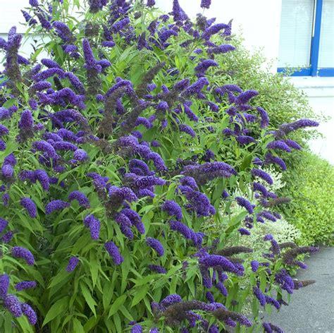 shrubs that flower all year shrubs that bloom all year year shrubs according