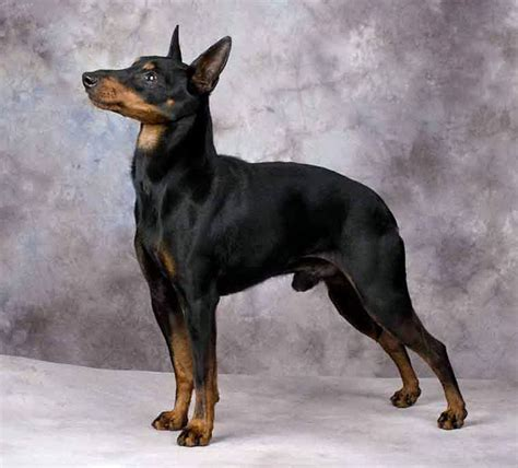 Manchester Terrier photo and wallpaper. Beautiful ...