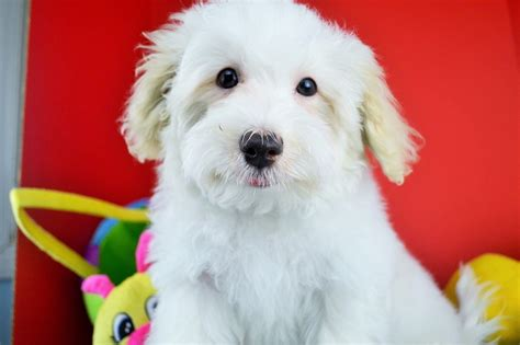 tri colored havanese puppies royal flush havanese puppies for sale