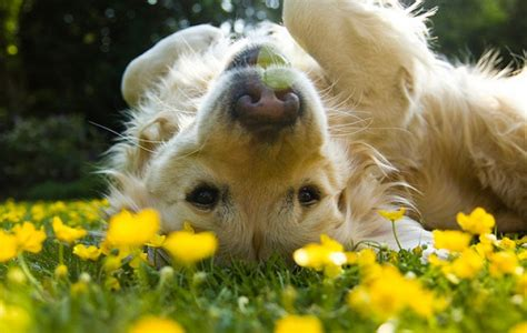 golden retriever puppies doing things 14 things that make golden retrievers happy