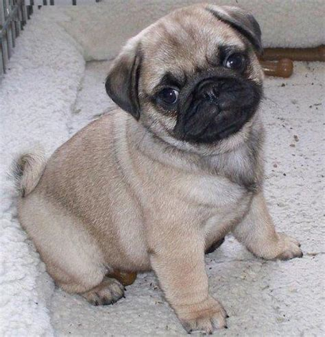 images of pugs puppies pug puppies for sale