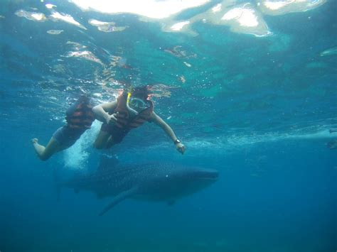 Paket Snorkling Orca 2016 Lifejacket Atunas whale shark experience in oslob 2016 for your thoughts