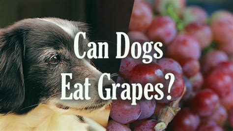 can you give dogs grapes can dogs eat grapes pet consider