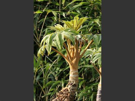 Paper Plant - tetrapanax papyriferus rice paper plant araliaceae images