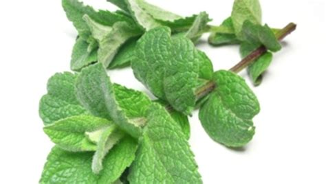 A Powerful Peppermint by Herbal Medicine The Power Of Peppermint Texila Connect