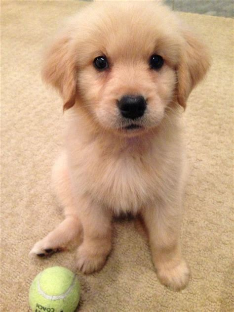 Best 25  Golden puppy ideas on Pinterest   Golden