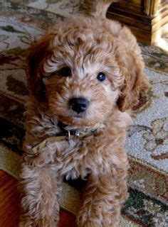 mini goldendoodles washington dc our new pomapoo puppy named braidy hairstyles