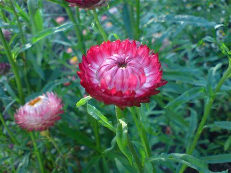 imagenes de rosas vivas sempre vivas rosas im 225 genes y fotos