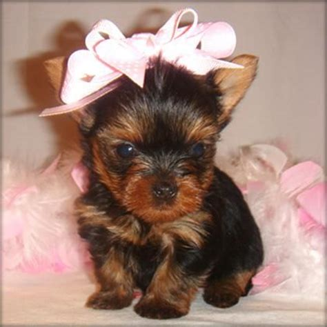 yorkies for sale 200 200 best images about teacup dogs on yorkie puppies for sale yorkie for