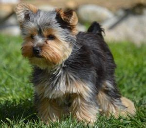 how do teacup puppies live 15 best teacup breeds and what you must about them
