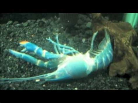 Stop Shedding Fish by Blue Lobster Molting Process