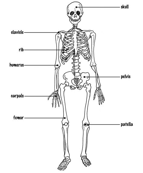 diagram of without labels skeleton diagram without labels diagram of human