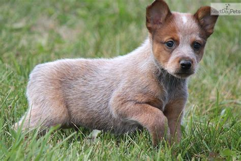 miniature blue heeler puppies for sale near me australian cattle puppies for sale in michigan breeds picture