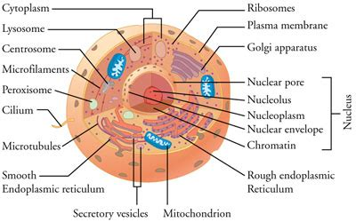 membuat telur asin pdf animal cell diagram nuclear membrane image collections