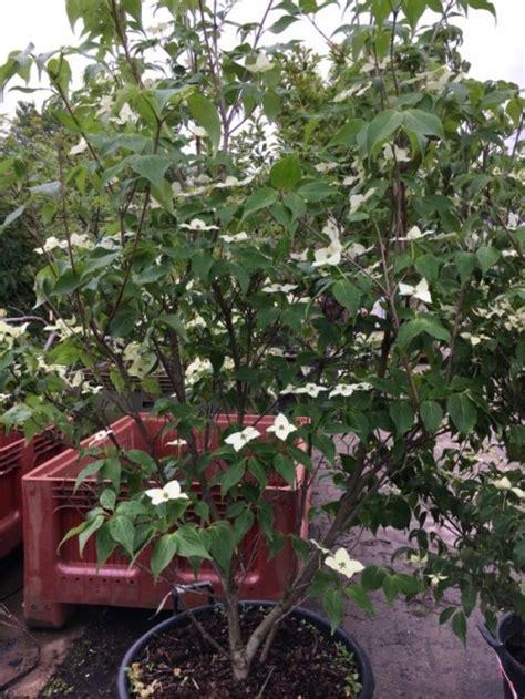 sierkers met witte bloemen stunning japanse kornoelje cornus kousa white dream with