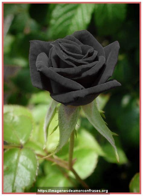 imagenes de whatsapp rosas imagenes de rosas negras para whatsapp imagenes de rosas