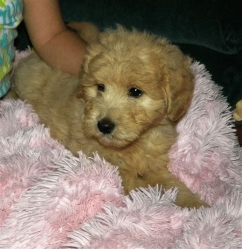 goldendoodle puppy washington state nala f1 goldendoodle aussiedoodle and labradoodle