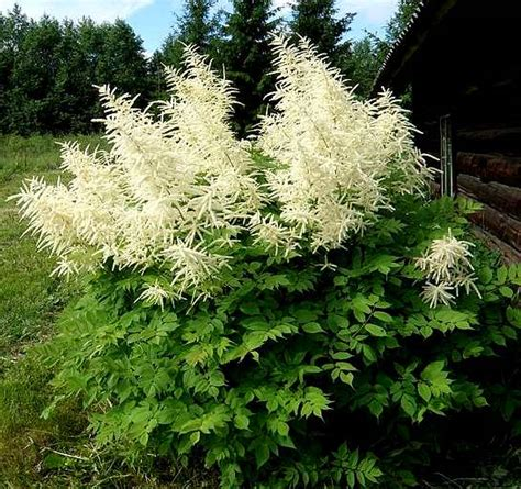 aruncus specialty perennials flower seeds