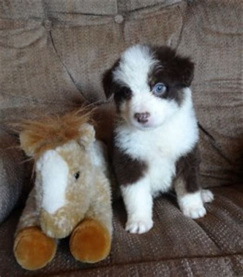 puppies for sale charleston wv dogs charleston wv free classified ads
