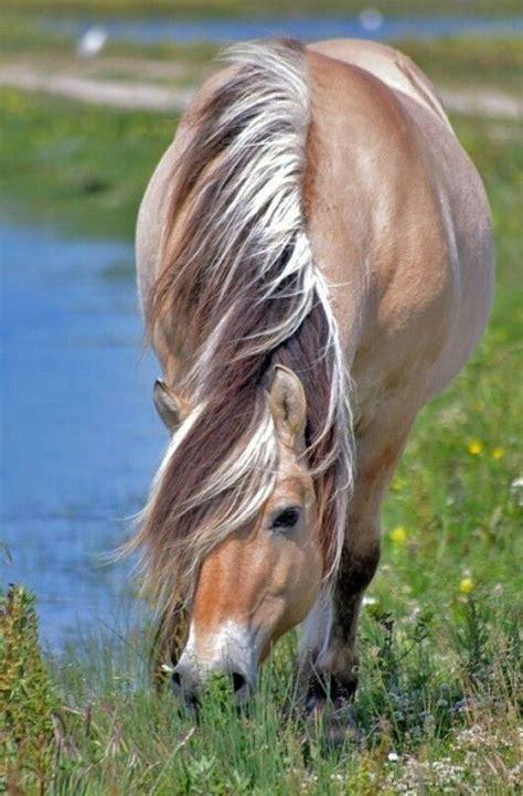 fjord mane norwegian fjord horse with untrimmed mane looks good