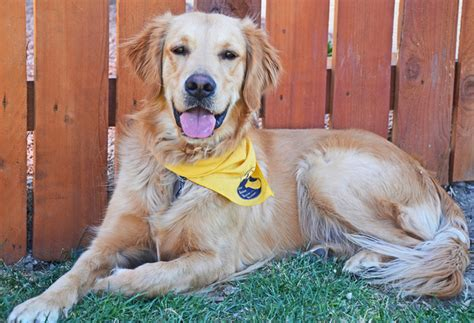 golden retriever rescue co coloradogives
