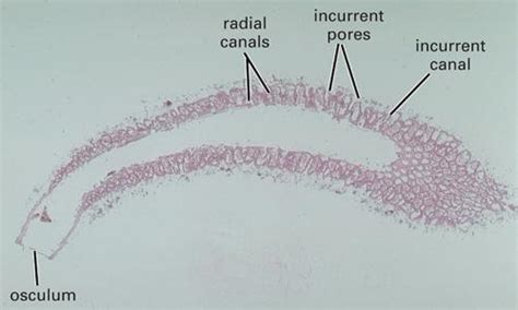 euspongia diagram bio 04 312 study guide 2013 14 haberyan instructor
