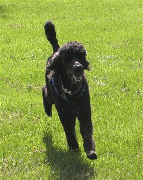 royal poodle lifespan black standard poodle quotes