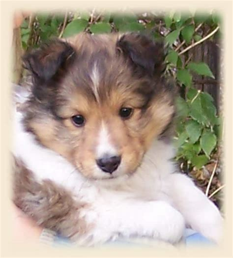 sheltie dogs sheltie puppies