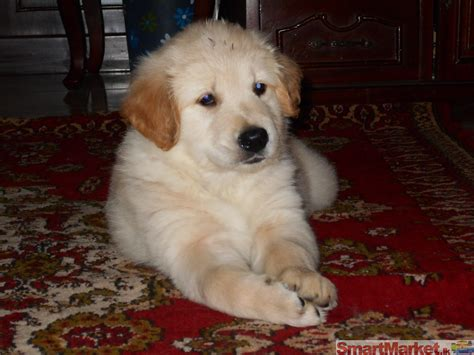 golden retriever purebred for sale bred golden retriever puppy for sale