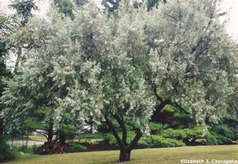 elaeagnus angustifolia russian olive list 1 77 pinterest photos trees and olives