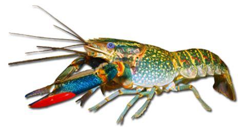 Makanan Ikan Hias Lobster mengenal lobster hias air tawar dunia akuarium