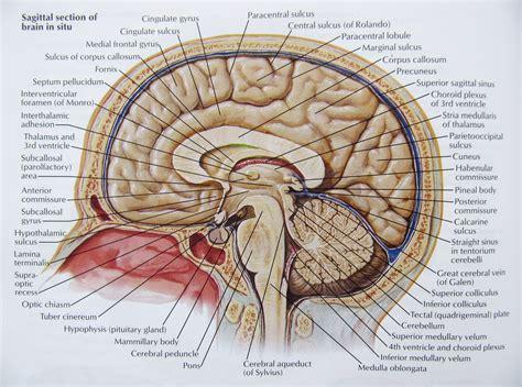 Cerebral Peduncle Brain